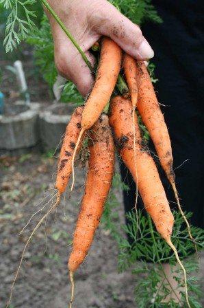 Ny optrukne gulerødder