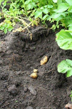Nye kartofler graves op