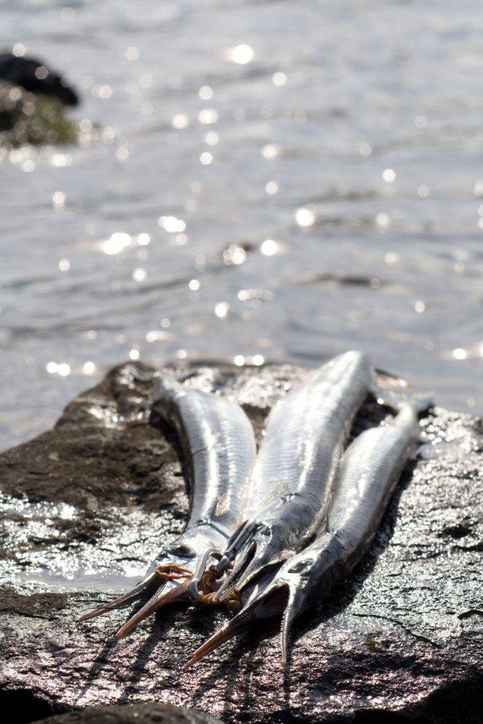 Hornfiskene præsenteret med umage