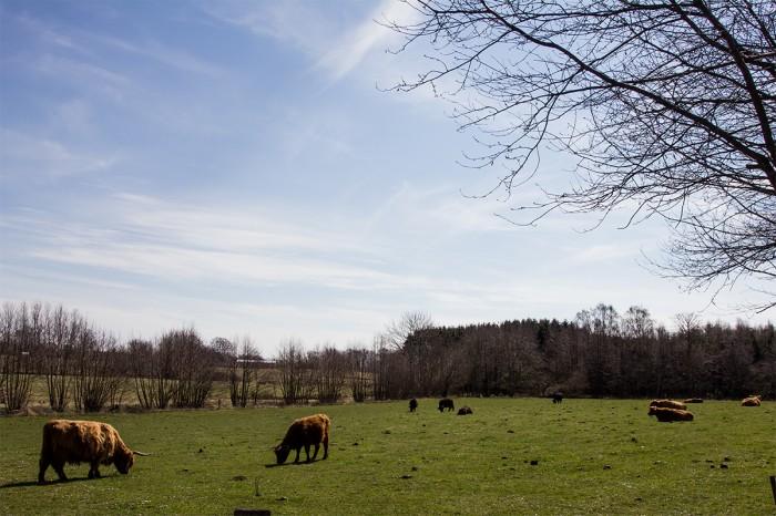Kvæg på Bornholm
