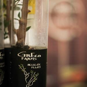 Stikling fra oliventræ